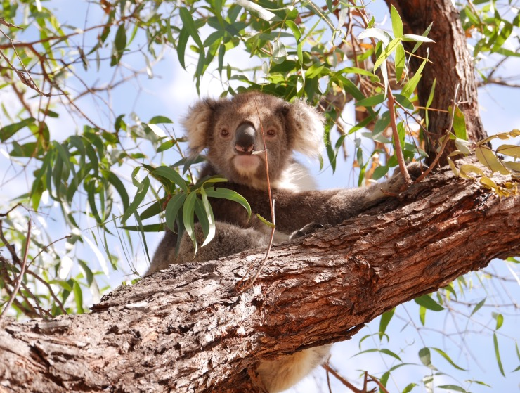 Koalas | Australie