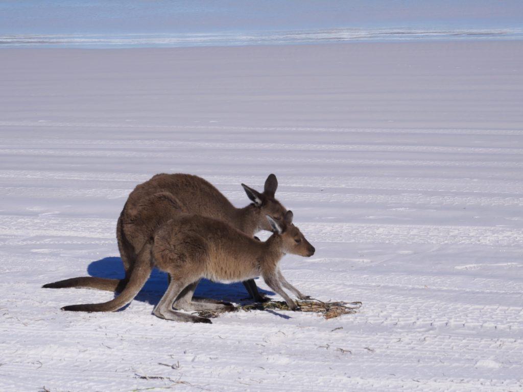 Kangourous | Esperance | Lucky Bay
